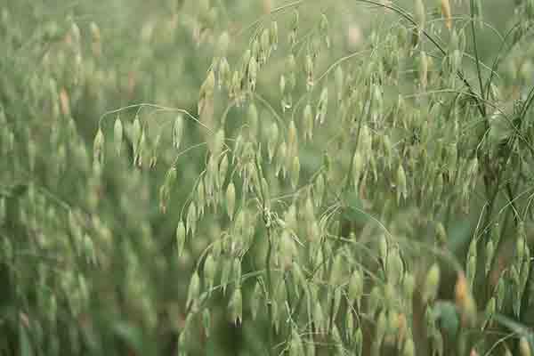 カラスムギ|キレイを引き出す素材のはなし|do organic|ジャパン ...